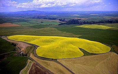 Wheat & Canola Fields, Nez Perce County, Idaho, ID (12222)
