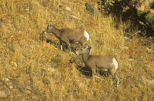 Aerial photo of Bighorn Sheep, Fremont County, Colorado, CO  United States